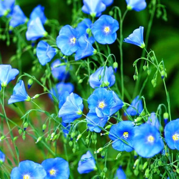 A len virág (Linum), a linóleum alapja